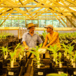 Banana breeder Juan Aguilar and his assistant tending to banana seedlings in Honduras.