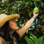 Curator of tropical fruit, Noris Ledesma, picking a mango at the University of Florida, Tropical Research and Educational Center.